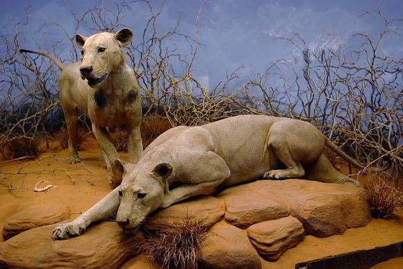 ツァボの人食いライオン
