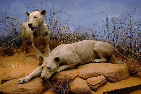 人食いライオンの剥製