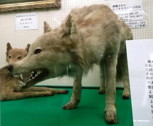 エゾオオカミ