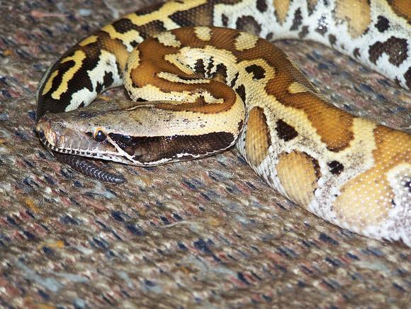 マレーアカニシキヘビ (1)