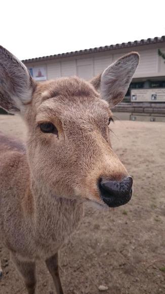 アップで撮った奈良公園のシカ
