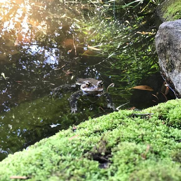 水に浮くカエル