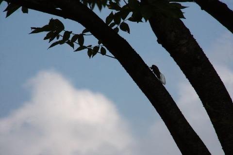 木にとまる蝉