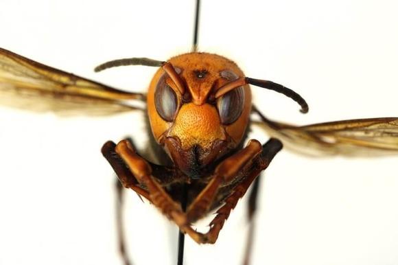 オオスズメバチ (1)