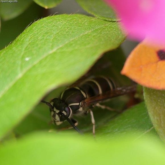 ツツジの葉陰で休むクロスズメバチ