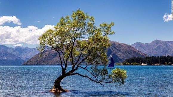 ワナカの木