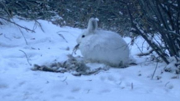死肉を食べるカンジキウサギ