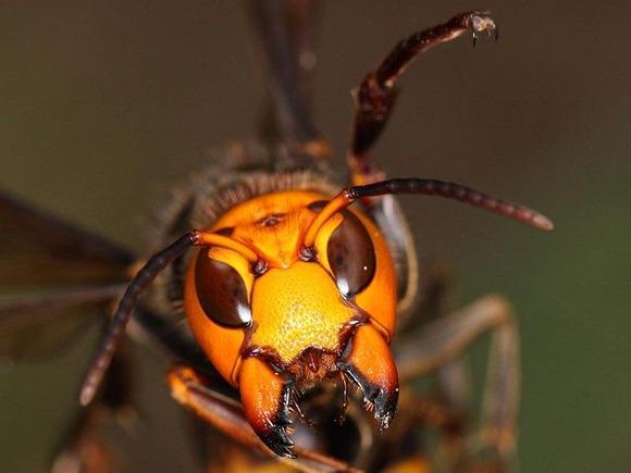 スズメバチの顔