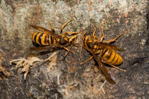 ケブカスズメバチ (1)