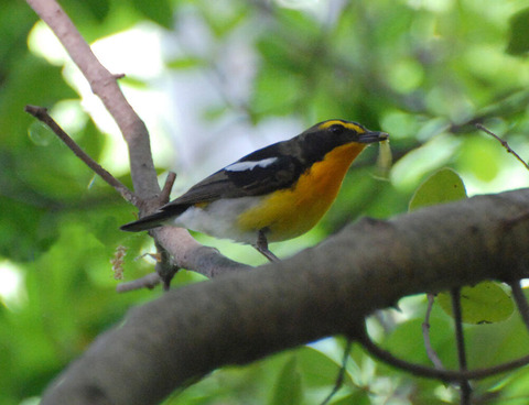 Narcissus flycatcher (1)