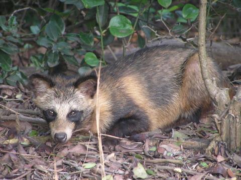 1280px-Tanuki_the_`Raccoon_Dog`