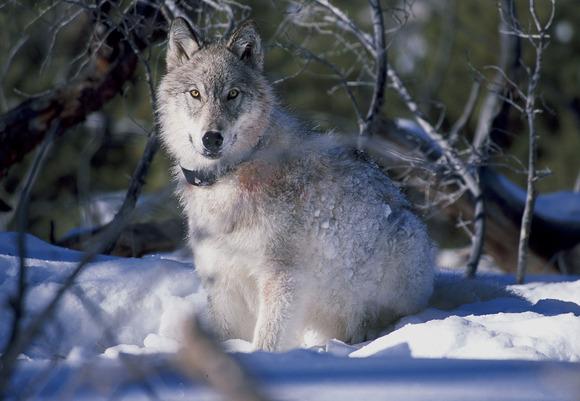 イエローストーン国立公園のオオカミ
