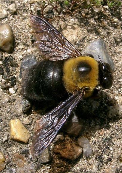 クマバチ (1)
