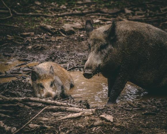 boar (1)