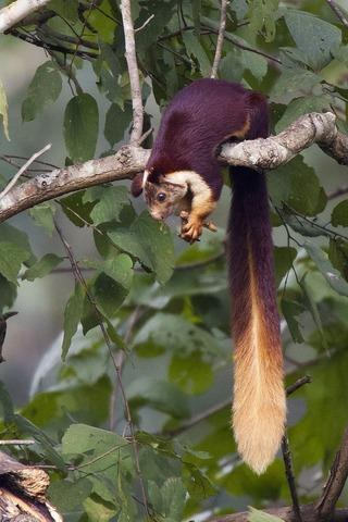 枝にいるインドオオリス