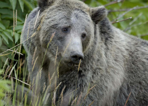 1Grizzly_Bear_Yellowstone