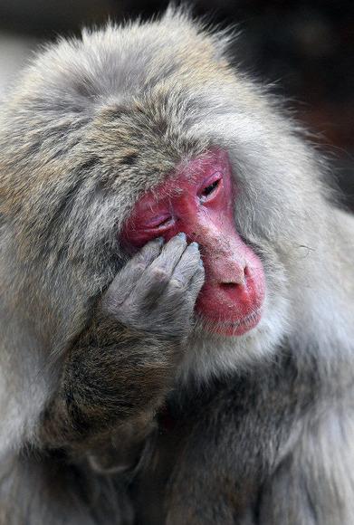 花粉症の猿