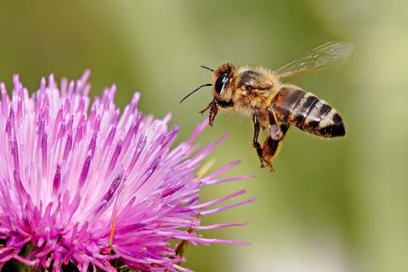 飛行中のミツバチ