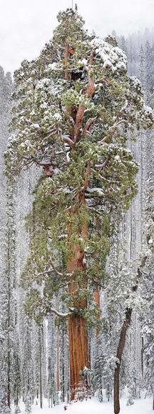 雪の積もる木