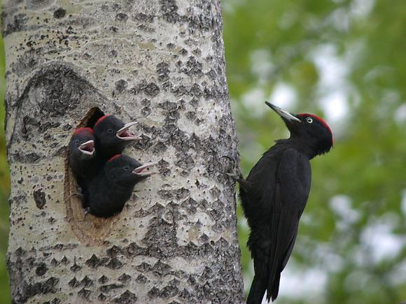 成鳥(木の外側)と巣から顔を出す雛