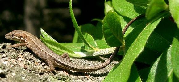 カナヘビ (1)