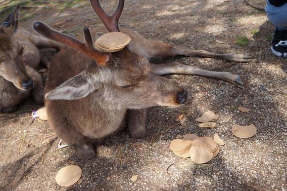 鹿せんべいに飽きた鹿