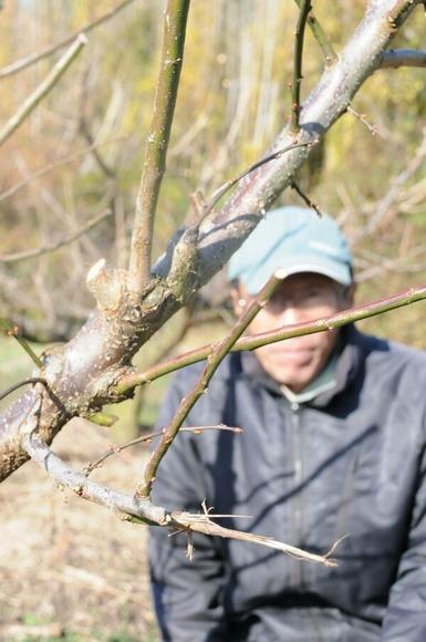 シカに食いちぎられた梅の枝