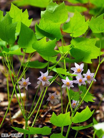 トガクシショウマの花。ほとんど見ることはない絶滅危惧植物だ