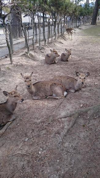 見つめてくる奈良公園のシカ