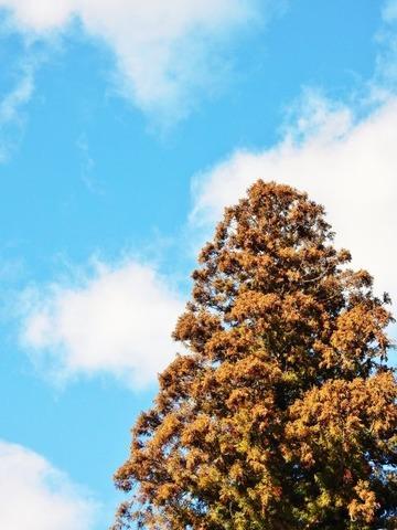 杉の木と青空