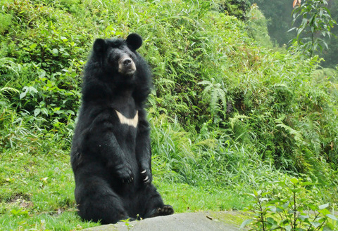 himalayan-black-bear