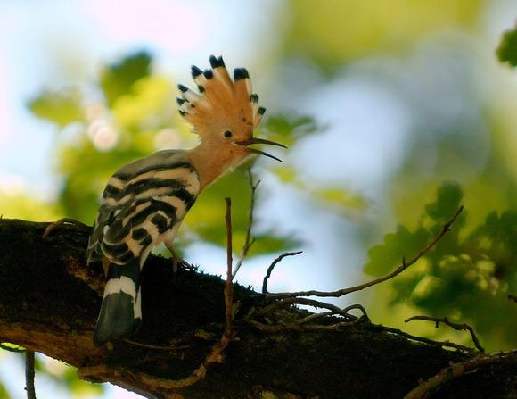木にとまるヤツガシラ
