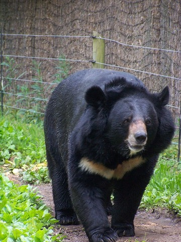 800px-Black_bear