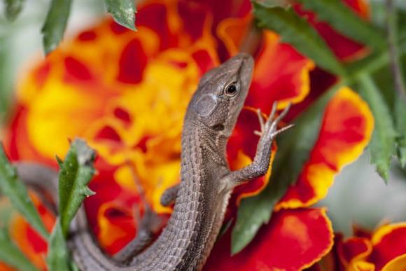 妊娠中のカナヘビ捕まえたwwwww