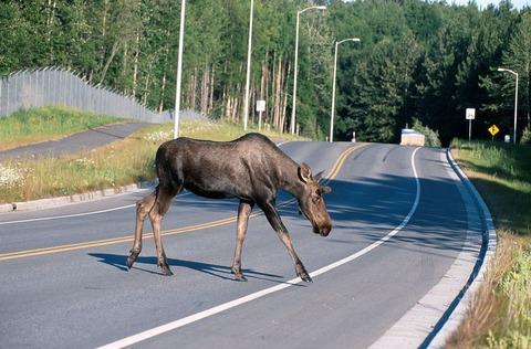 道路を横断するヘラジカ(アラスカ)
