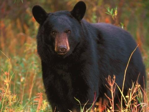black-bear-face-wallpaper-1