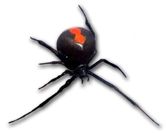 前から見たセアカゴケグモ