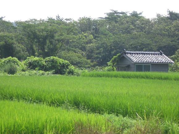 夏の水田 (1)