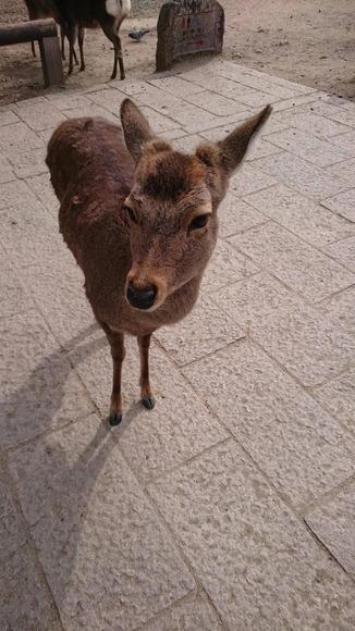 佇む奈良公園のシカ