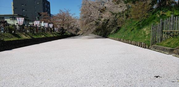 弘前城のサクラ