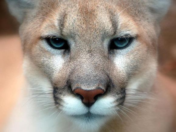 Cougar_closeup (1)