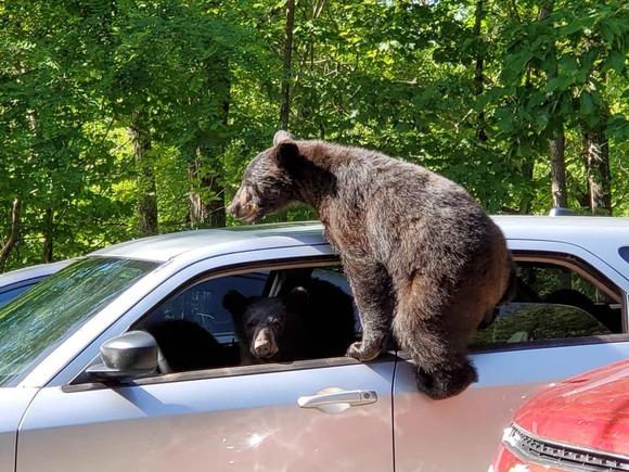 車に乗りかかるクマ