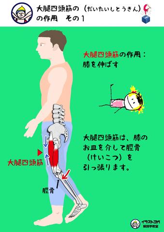 2.大腿四頭筋の作用