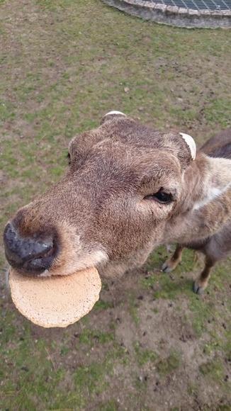 鹿せんべいを食べる奈良公園のシカ