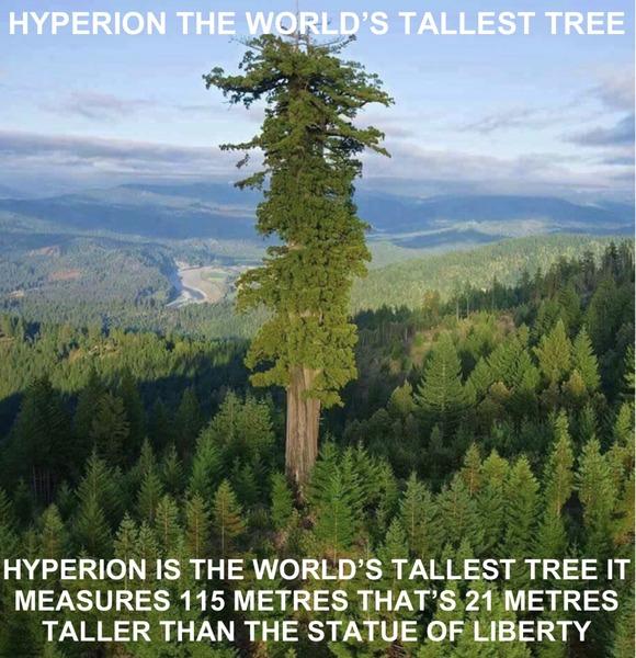 世界最大の木