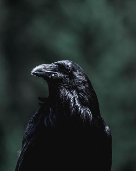 crow (1)