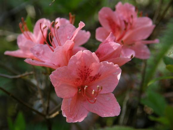 Rhododendron_kaempferi_var._kaempferi_、ヤマツツジ4256409