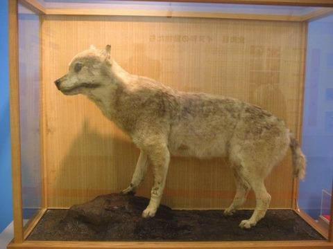 ニホンオオカミ