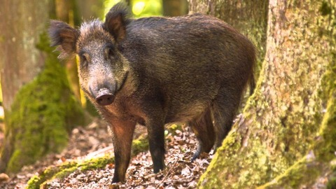 Wild-Boar-High-Quality-Wallpapers