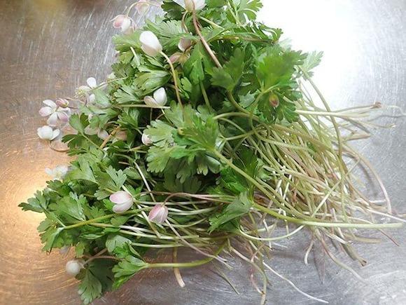 ニリンソウの茎 (1)